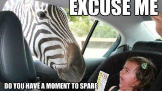 zebra-meme